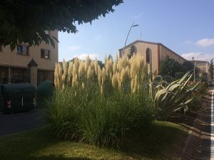 Plumero de la Pampa en Logroño