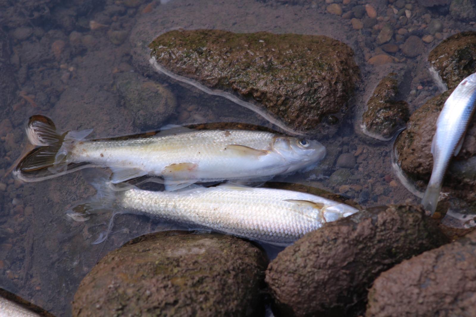 Peces muertos en el Alhama