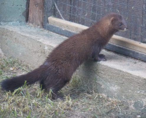 Fotografía de David Fernández Altuzarra. Visón europeo en cautividad en el Zoo de Madrid